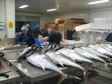 Preparing tuna for shipment at Port Lincoln, Australia.